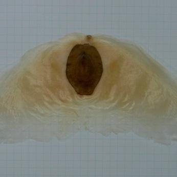 アルソミトラマクロカルバの種